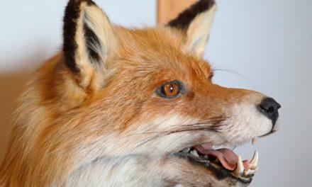 Le renard est de retour dans le poulailler